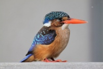 Be captivated by the Kingfishers showing just how easy it is to catch fish.