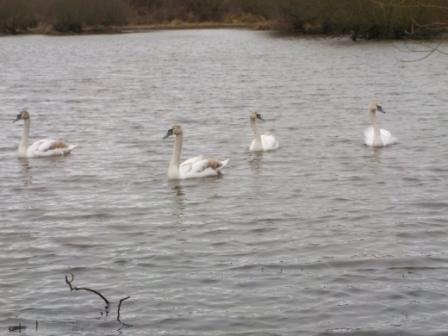 Swans enjoy a winter visit to the Seldom Senn ponds.