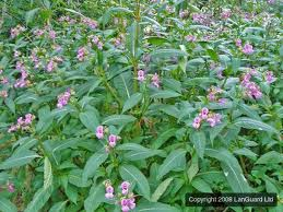 Hymalayan Balsam ... undermining our river banks.