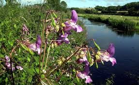 It may look very pretty, early summer in full flower but it is damaging the river bank year on year.