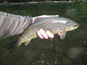 Fine trout