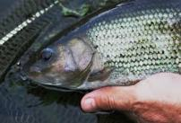 Grayling catches improving all the time