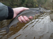 Grayling close season almost here