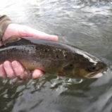 The Brown Trout Season is open