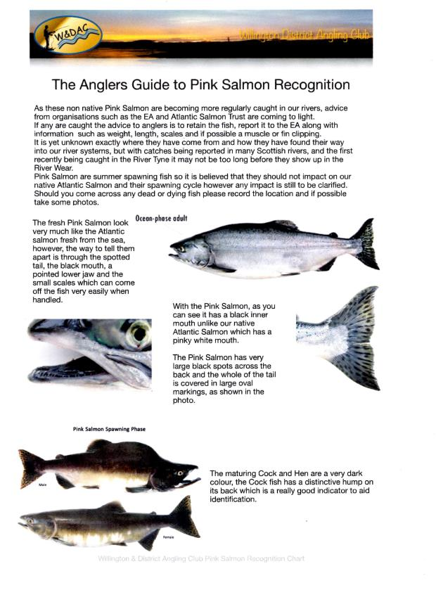 Pink Salmon Guide