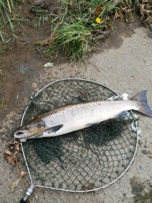 Willington Salmon